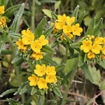 Hoarry Puccoon - photo by Kurt Schlimme