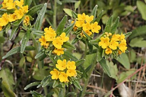 Hoary Pucoon – Lithospermum canescens