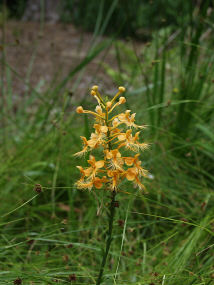 Yellow Fringed-orchid